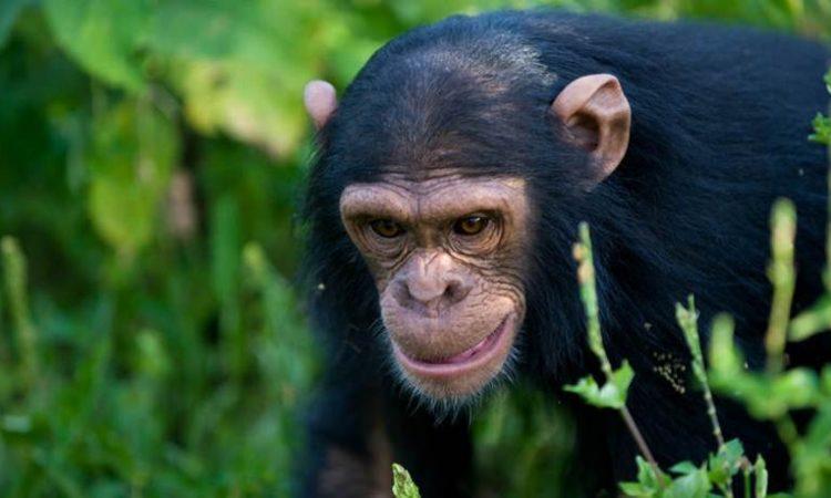 Day 5 Chimpanzees trekking